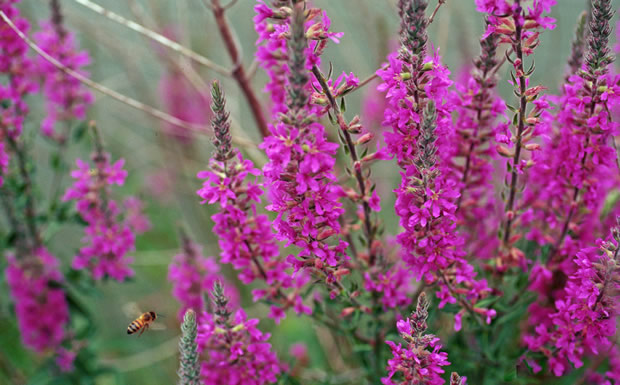 Invasive plants, purple loosestrife
