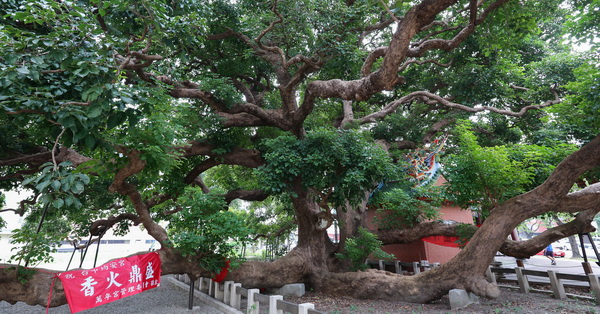 台中西區|茄苳樹王文化生態公園|台灣平地最大的千年茄苳神木|譽為台中之寶