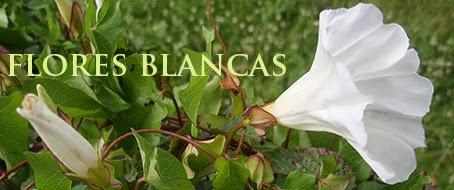 Correhuela mayor (Calystegia sepium) flor silvestre blanca
