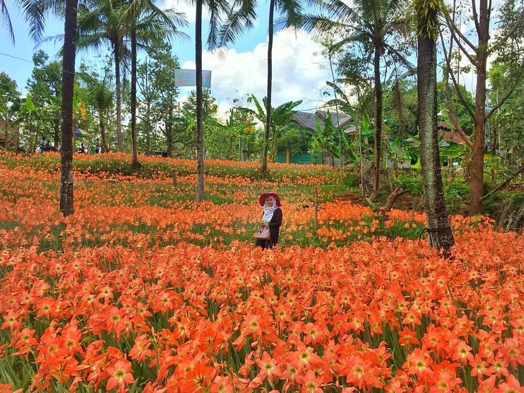 Foto Selfie di Hamparan Kebun Bunga Amarilys, Lokasi Dan Tiket Masuk