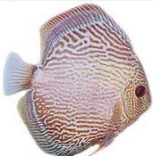 Ikan Hias Air Tawar Termahal Thick Lines Discus