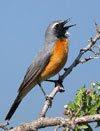 Burung Ciblek - Cara Memilih Jenis Suara Burung Masteran (Burung Ciblek) - Penangkaran Burung Ciblek