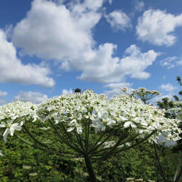 White, umbelliferous plant with fly on top - in front of blue sky with clouds.