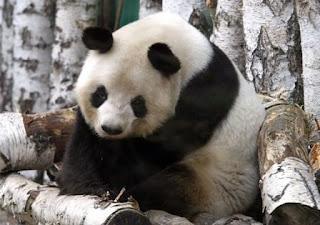 Oso Panda gigante triste