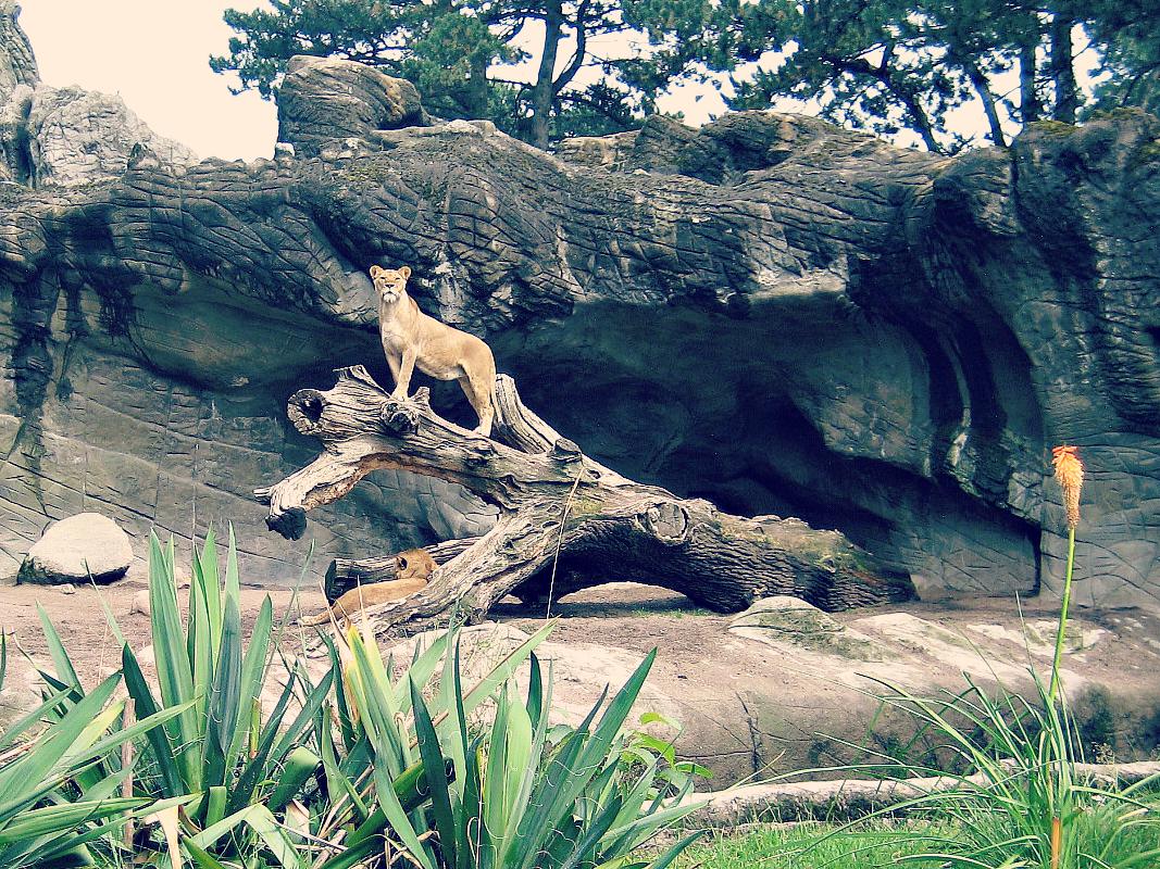 wybieg lwów
