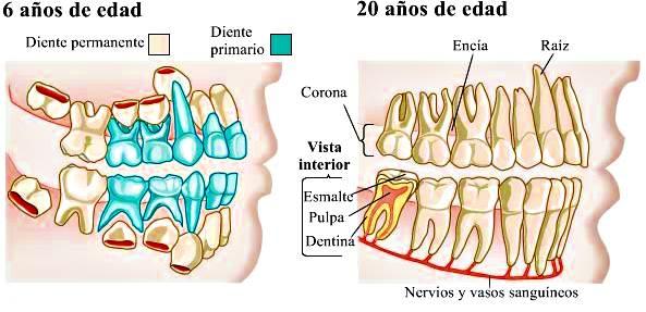 Dientes: anatomía, estructura, forma, funciones y enfermedades de ...