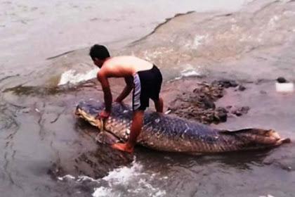 Misteri Ikan Raksasa Terdampar di Kali Ciliwung Akhirnya Terkuak