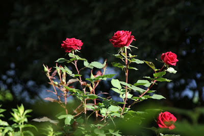 5 Important Thing For Planting Roses