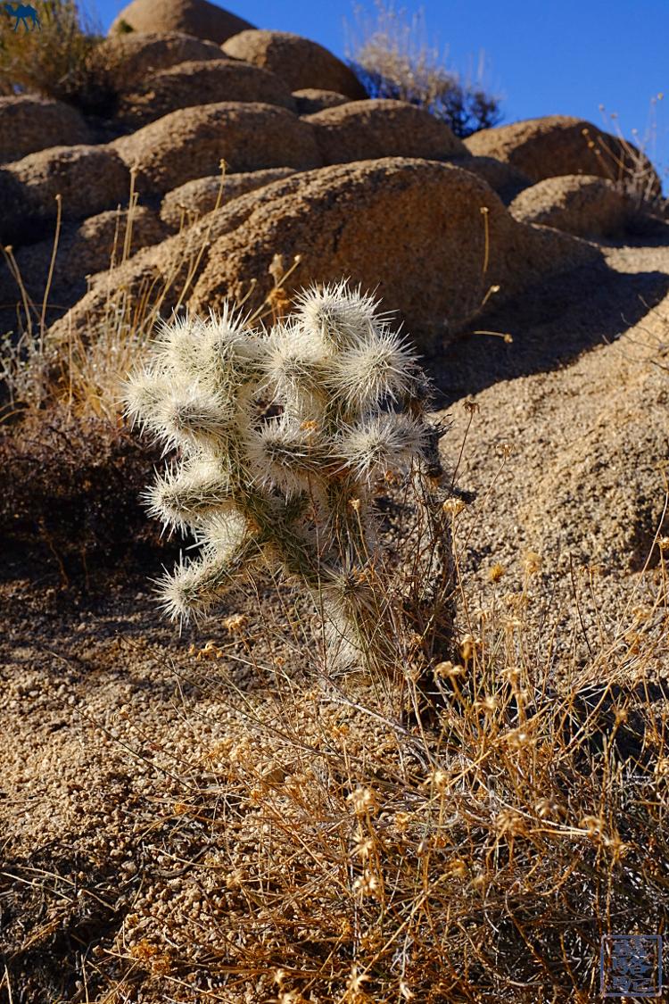 Le Chameau Bleu - Blog Voyage USA Flore du Joshua Parc en Californie du Sud - Ocotillos - USA