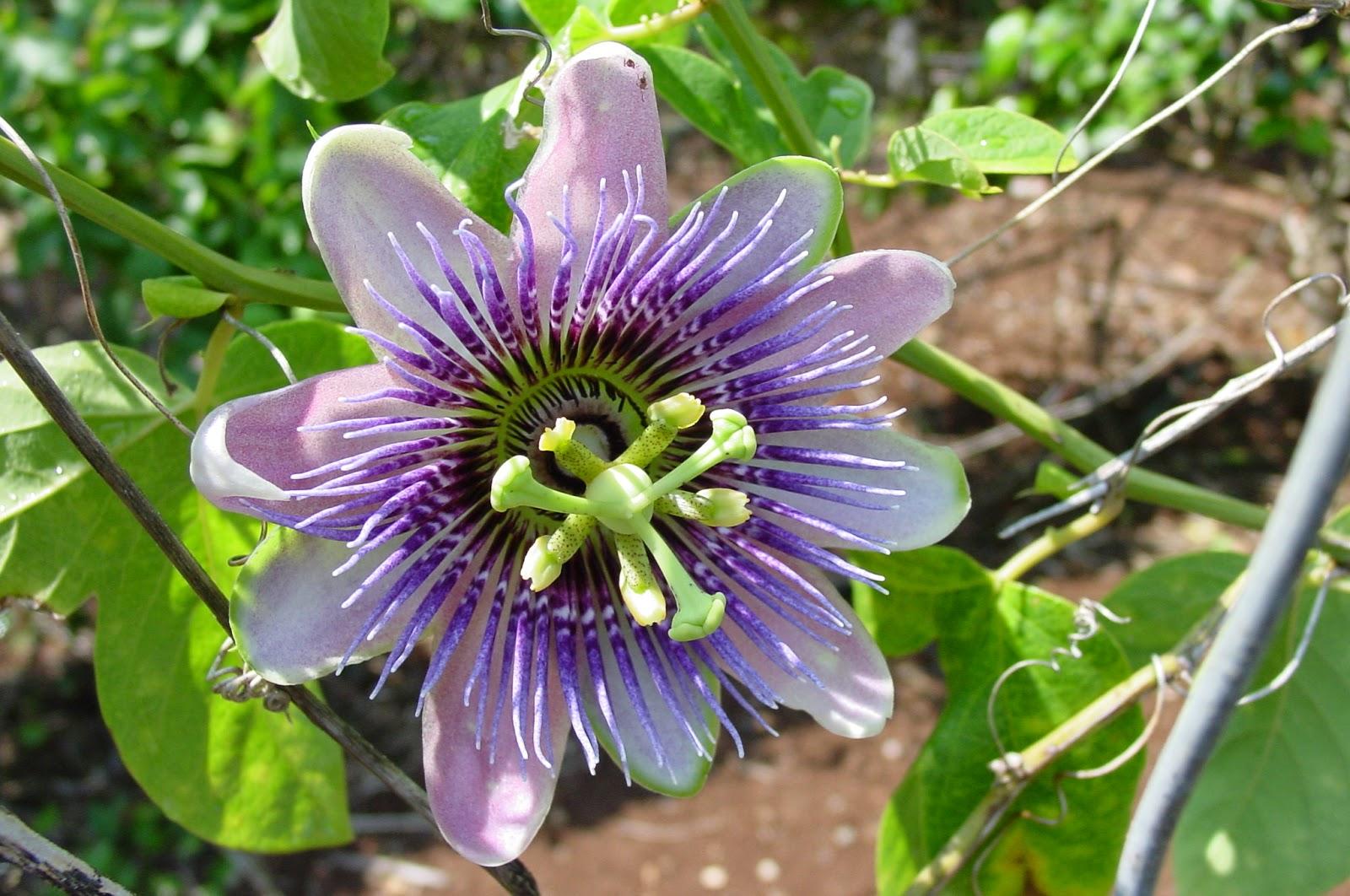 Benefits Of Passion Flower Passiflora Incarnata For