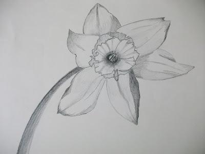 Daffodill Sketch