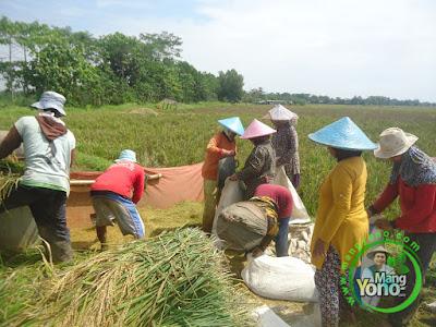 FOTO 4: Perontokan dan Pengemasan Padi Trisakti