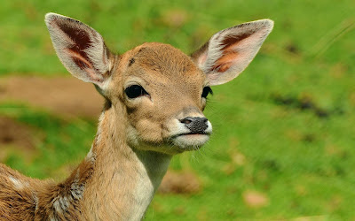 roe deer widescreen hd wallpaper