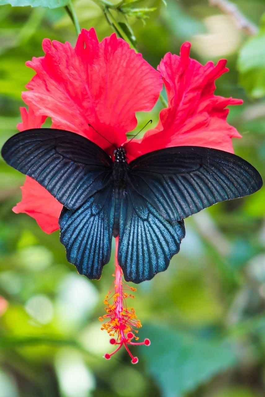 Papilio polymnestor.