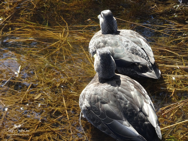 Black Ducks Mating Pair