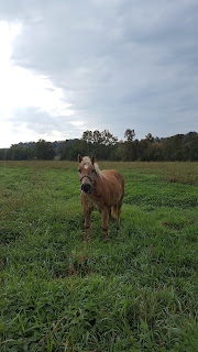 picture of Dale the horse in field on Blennerhasset Island