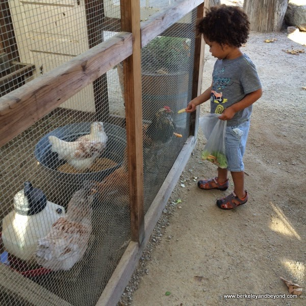 child feeding chickens at Avila Valley Barn in San Luis Obispo, California
