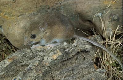 USA mouses