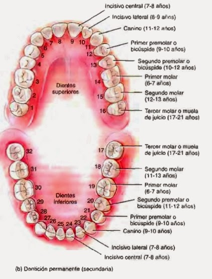 Cavidad oral (glándulas orales, lengua, dientes) - Canal alimentario