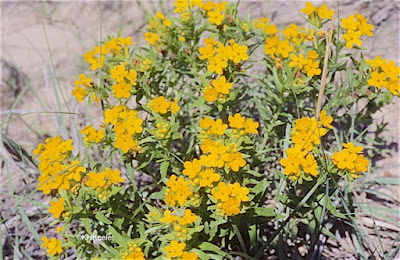 Carolina puccoon, Lithospermum caroliniense
