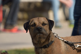 1. Border Terrier in der Schweiz