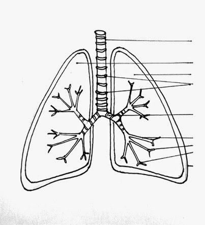Pin Lungs Diagram Unlabeled on Pinterest