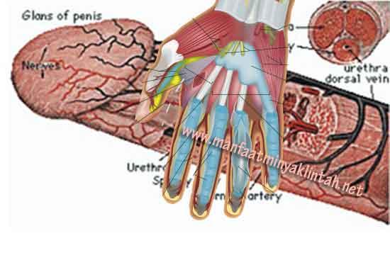 Cara memperbsar penis dengan tangan