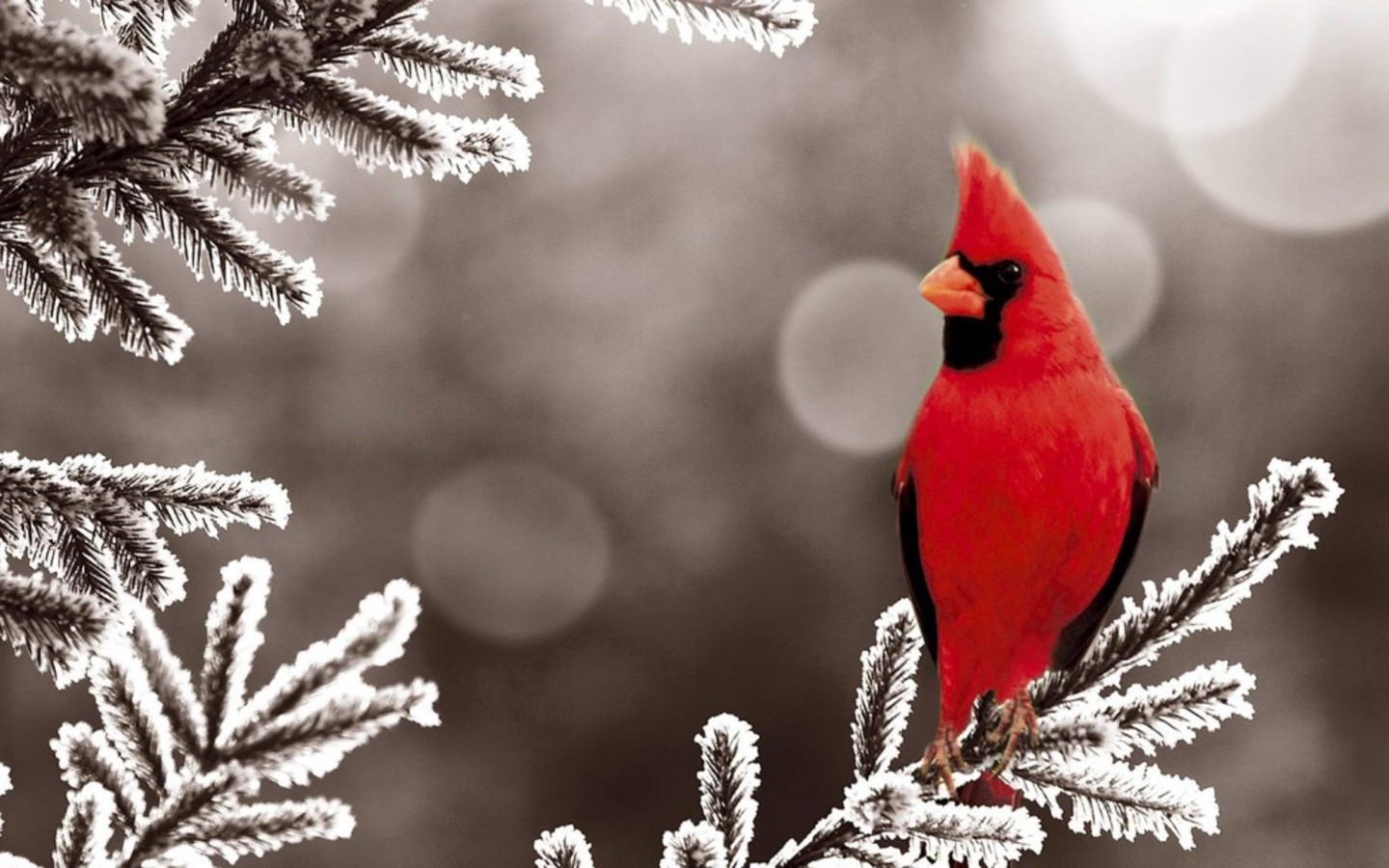 Wild life cardinal wallpaper wild birds - Pictures of cardinals in snow ...