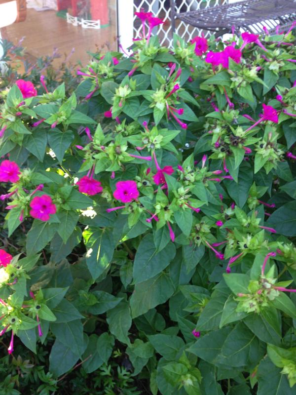 Bunga pukul empat yang beracun