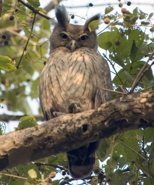 Indian birds - Image of Dusky eagle-owl - Bubo coromandus