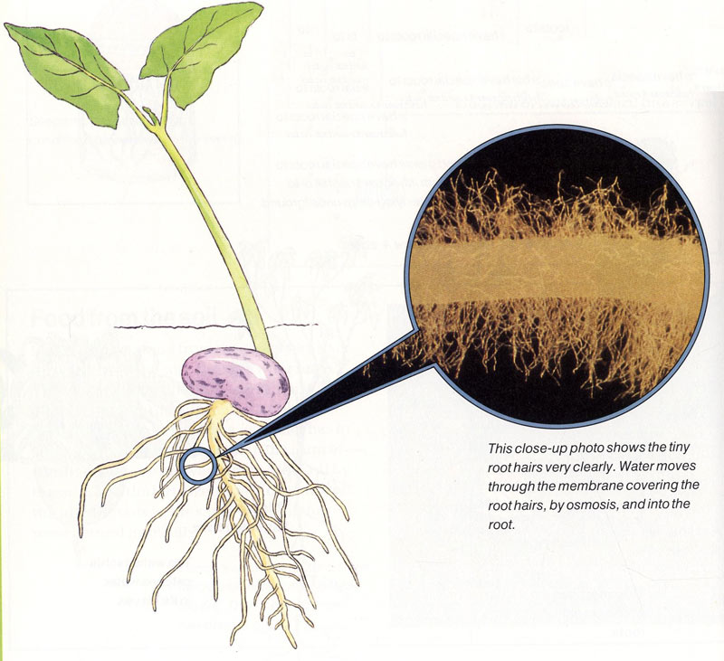 Osmosis 1 |Osmosis In Plant Roots
