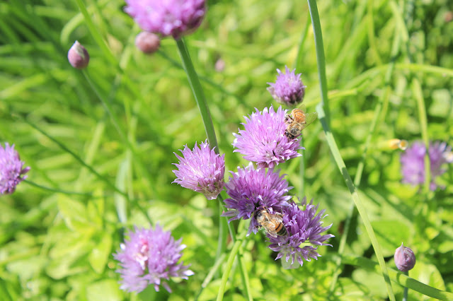 Honey bee on chive flower