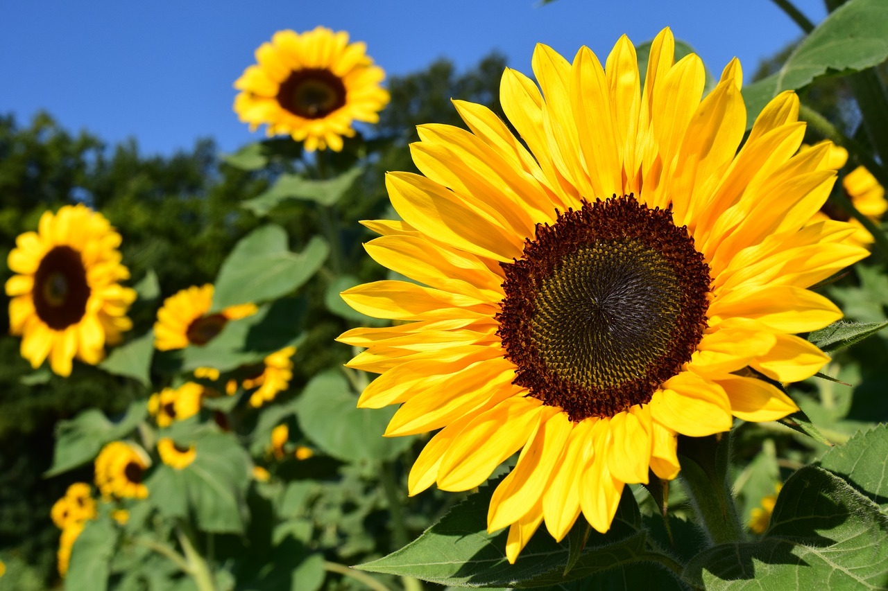 Unduh 60 Gambar Bunga Matahari Beserta Penjelasannya HD Paling Keren