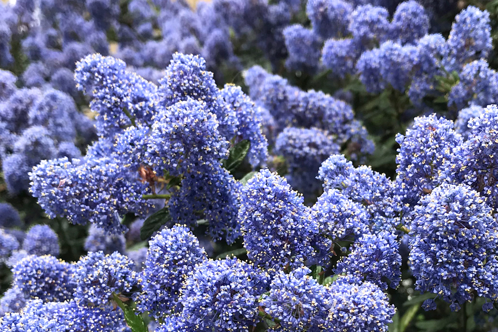 Ceanothus blue flowering bush - London lifestyle blog