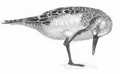 Baird's Sandpiper graphite drawing