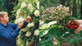 Fitosofia hortensia y gardenia - Poda de hortensias epoca ...