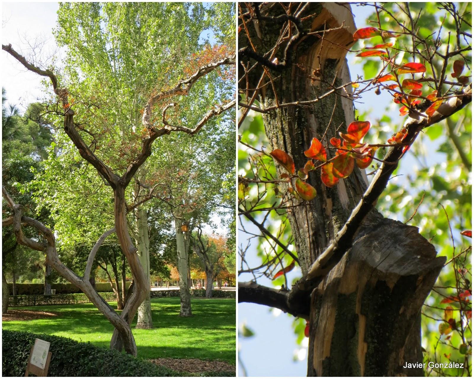 Parque del Retiro. Árbol de Júpiter/ Jupiter Tree