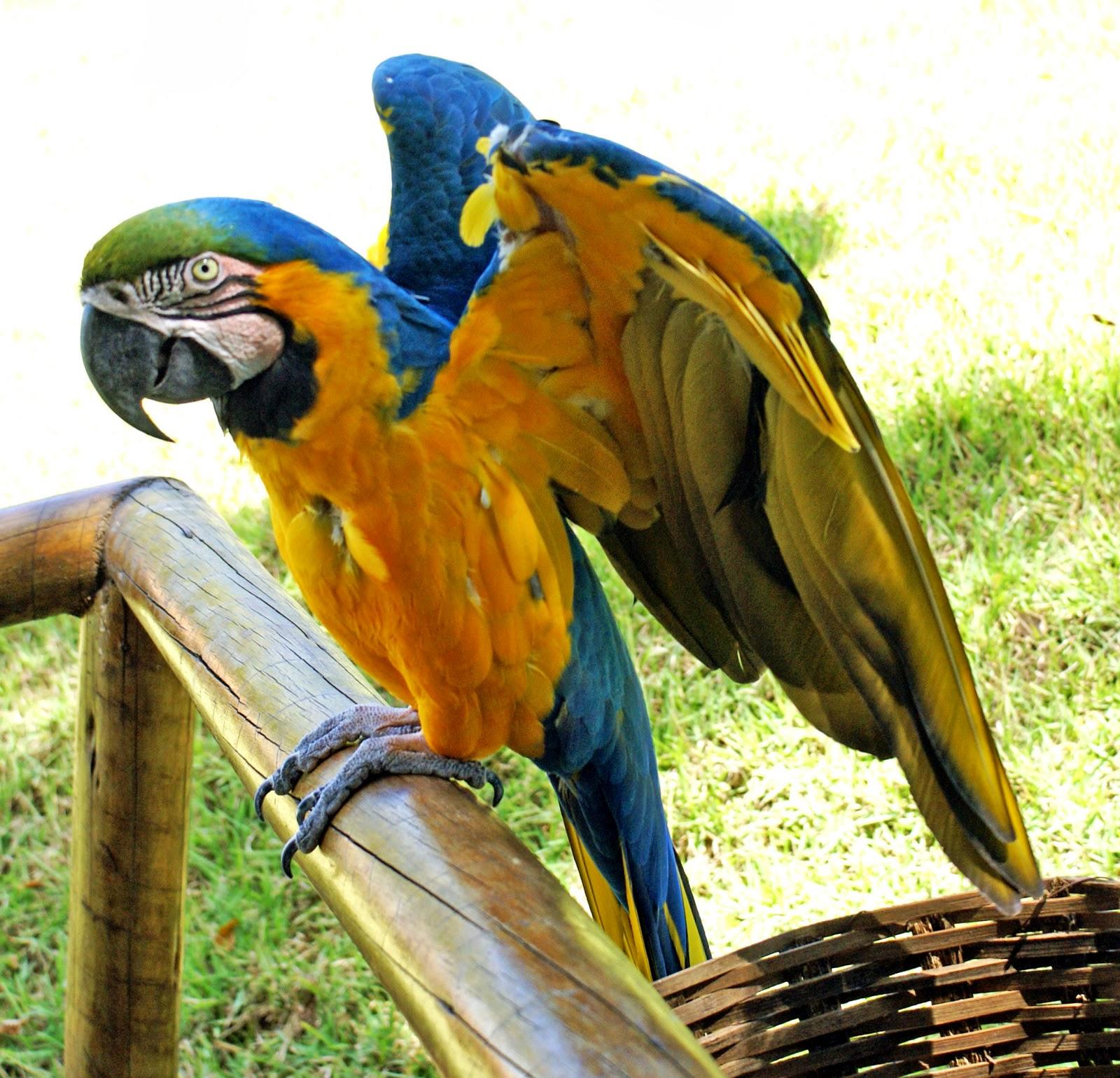 Gambar Burung Beo  Dunia Binatang