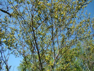 Rama negra Mimosa bonplandii