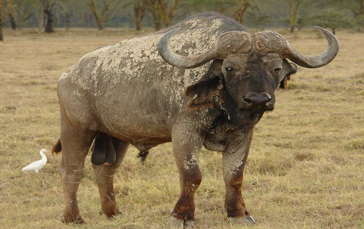 animals wild kenya animal african buffalo names bull wildlife animaux nature wallpapers mac background pet africa name results unknown posted