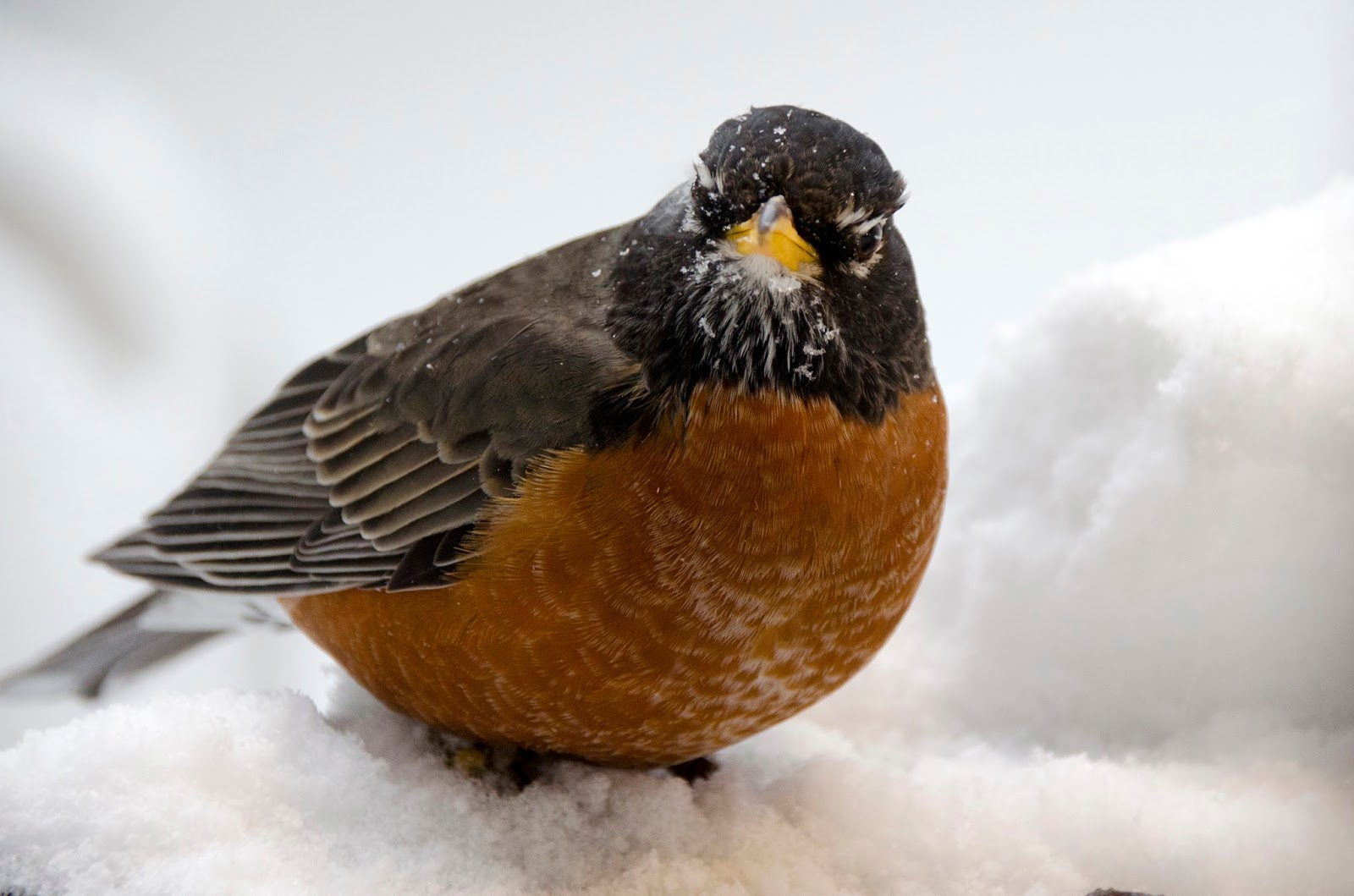 Winter Robin is Back!