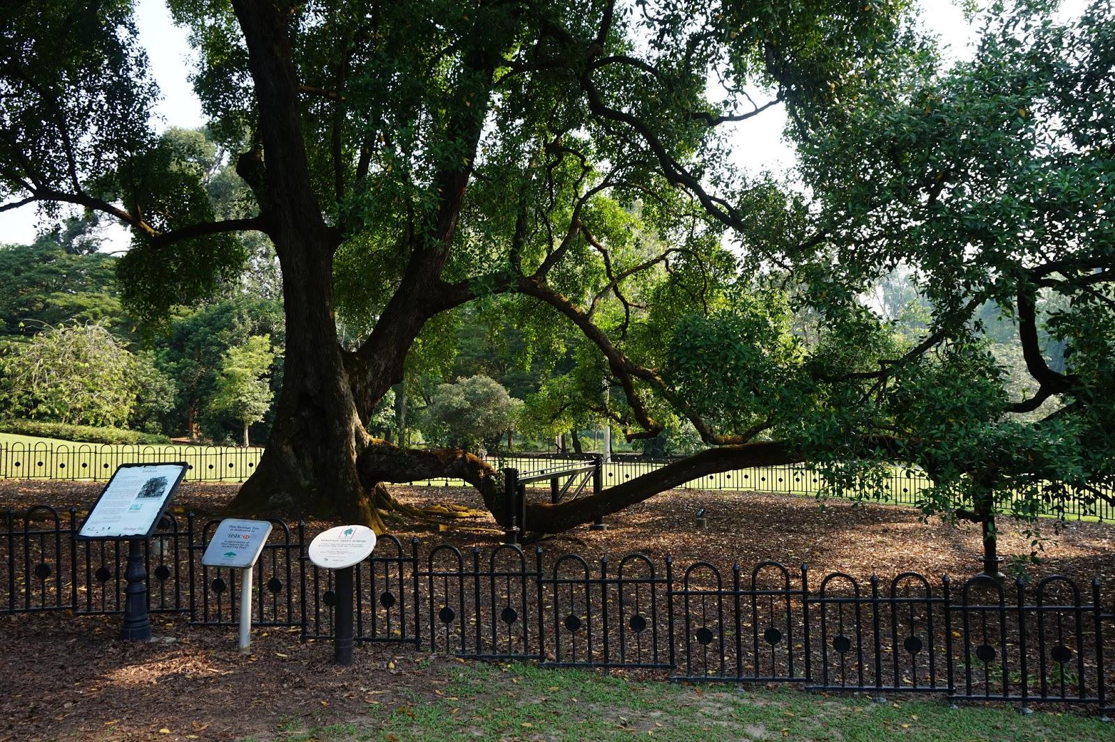 the tembusu tree at the botanic Tembusu 4 kapok tree 3 how to get to singapore botanic gardens by foot: entrance to the gardens is easy through the gardens' major entrances: tanglin gate, nassim.