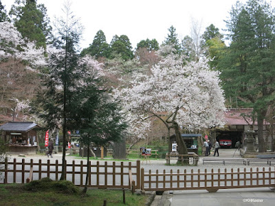 cherry blossoms, Hiraizumi, Japan