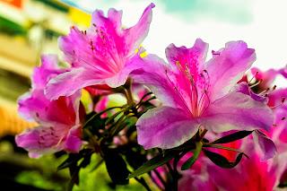 Conjunto de flores de azaleas