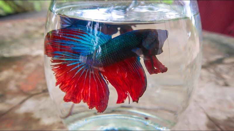 Image Can a Betta Fish Live in a Bowl