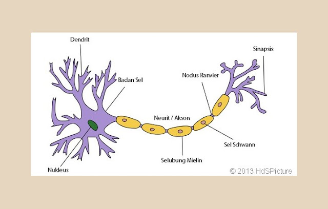 Struktur, Sel Saraf, Neuron