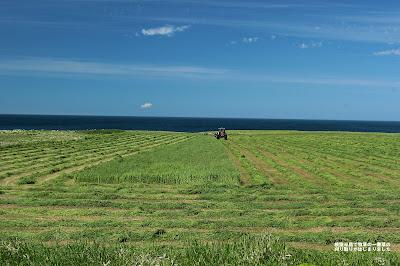 根室半島でも牧草の一番草の刈り取りが始まりました