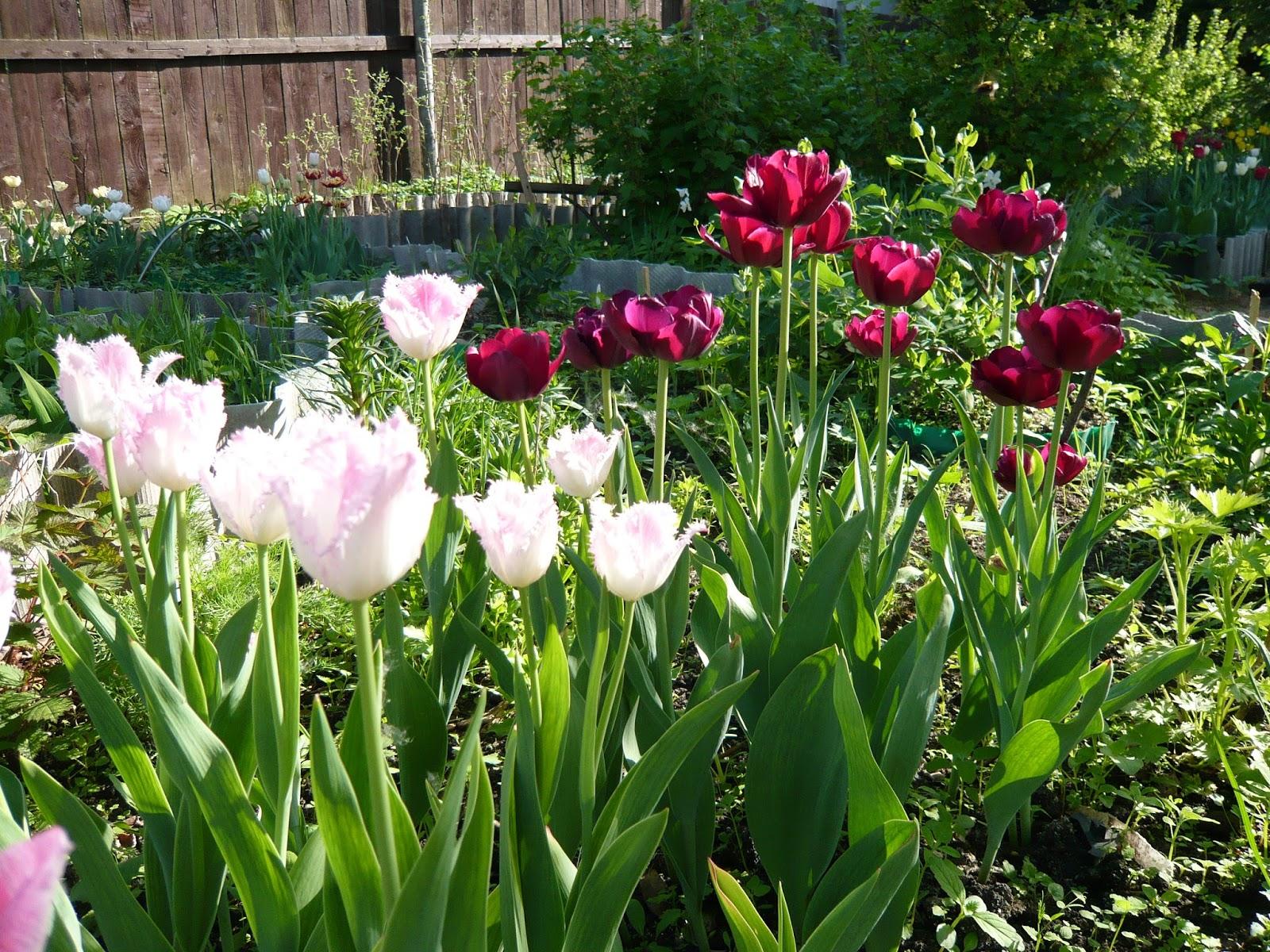 Посадка тюльпанов осенью в Подмосковье: время, сроки, правила 70