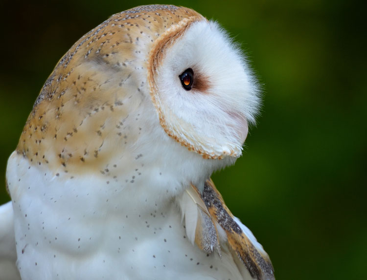"Barn Owl profile -- ""Storm"" from RAPTOR, Inc."