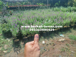 pohon lavender murah
